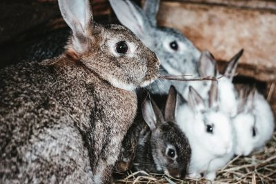 Kaniner som husdjur